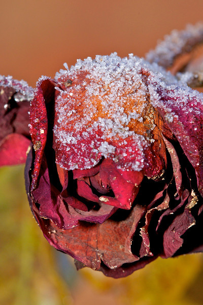Winters Rose